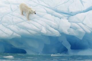 «Арктические» страны будут сообща охранять белых медведей