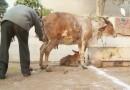В Индии становится популярным лечение коровьей мочой