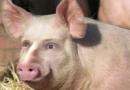 Японские ученые начали выращивать свиней с человеческими органами