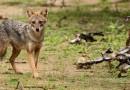 В Латвии начинают бороться с инвазивными для страны животными