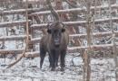В Национальном парке «Угра» поселились четыре зубра