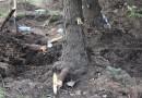 При строительстве паркинга в Воронеже будет предпринята попытка пересадки деревьев