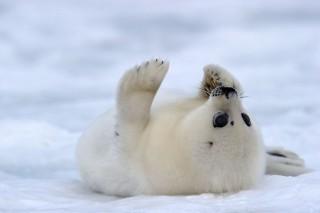 В Белом море из-за массового рождения детенышей гренландских тюленей, ограничили навигацию кораблей