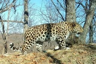 За популяцией дальневосточных леопардов в нацпарке Приморья будут следить при помощи фотоловушек