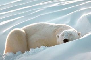 Медведи помогут в исследовании проблемы ожирения