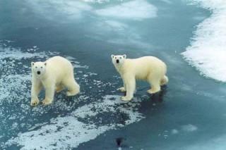 За белыми медведями будут вести наблюдение из космоса