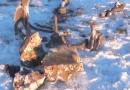 Российские ученые предпримут попытку воссоздать мамонта