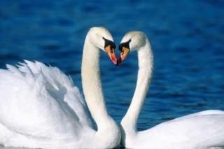 В Алтайском крае отпразднуют прилет лебедей