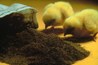 Куры, водоросли – ресурсы для альтернативного топлива
