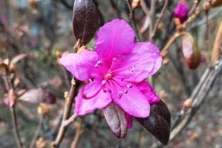 В Ботаническом саду МГУ аномально рано зацвел рододендрон