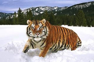 Три «президентских» тигра успешно приспособились к дикой природе