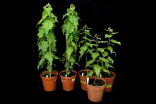 Британские ученые создали тополи-мутанты, являющиеся оптимальным сырьем для древесного биотоплива