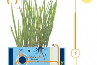 Голландские ученые научились добывать электричество из риса